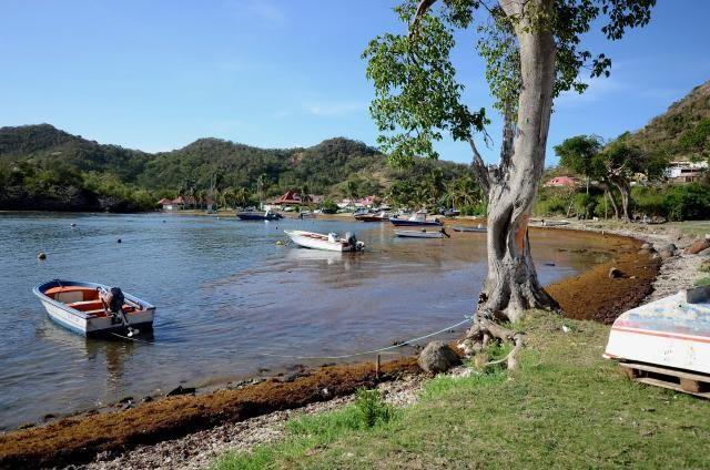 La baie du Marigot fait partie des plages infestées par les sargasses. L'endroit, plus peuplé que l'anse de Pompierre, est nettoyé chaque jour par les employés municipaux.